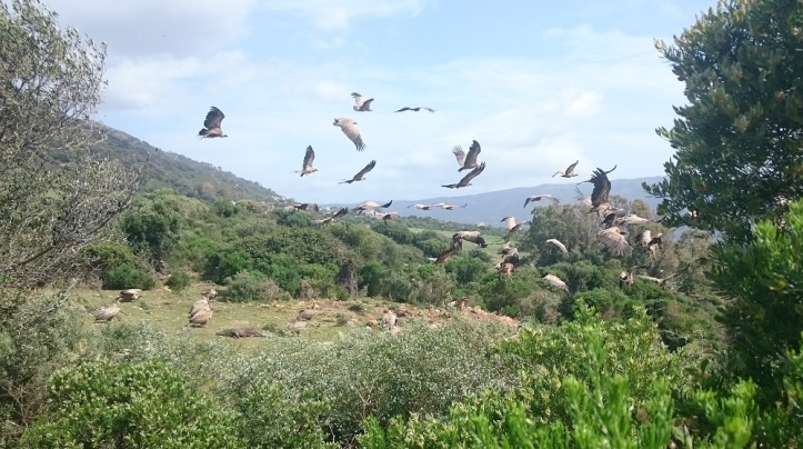 Famous Vultures of Tarifa can often be seen
