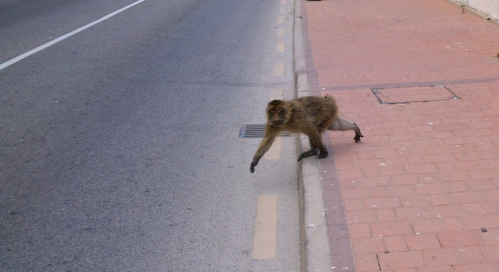 Watch out! Stop! Gibraltar Monkey cross the road.