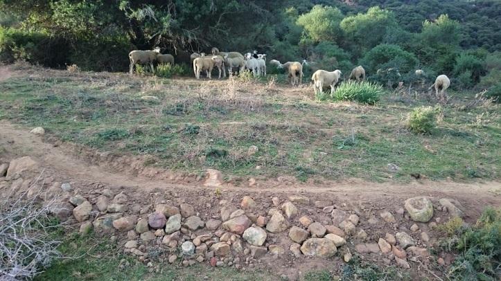 trailbuilding cabras.JPG
