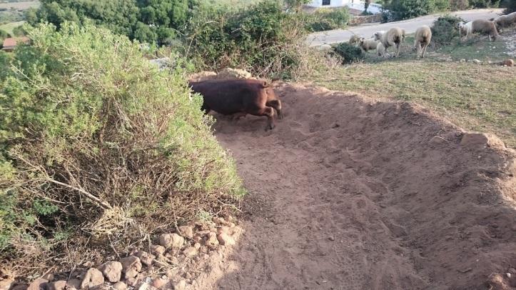 trailbuilding cerdos